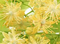 Tilia Cordata Flower Water