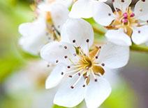 Anjou Pear Tree Blossom
