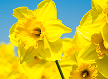 Sundrenched Daffodil