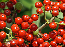 Brazilian Christmas Berry
