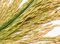 Rice Bran Esters