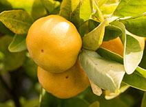 Yellow Mandarin
